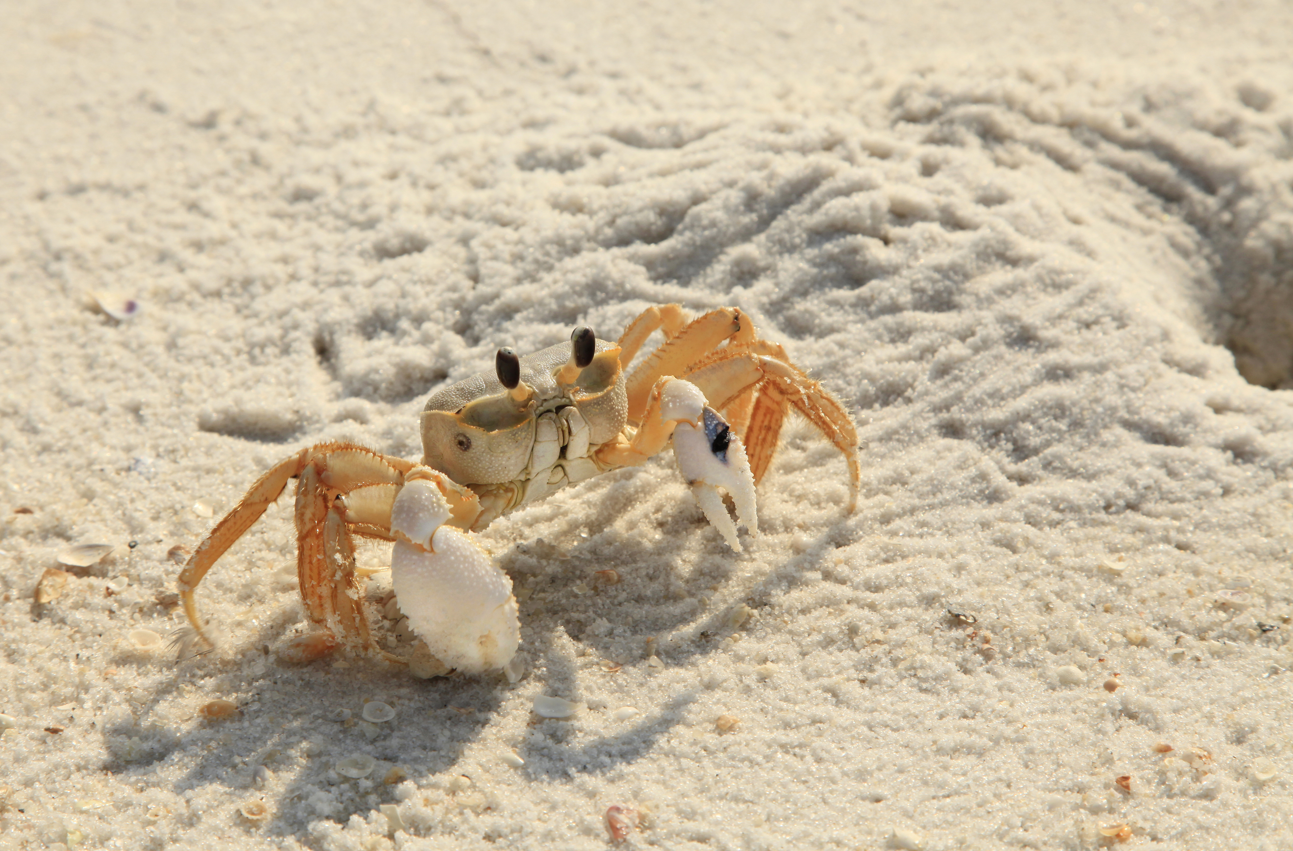 Beach Fill Effects on Sand Critters
